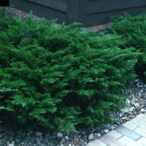 [Juniperus+Scandia+18]