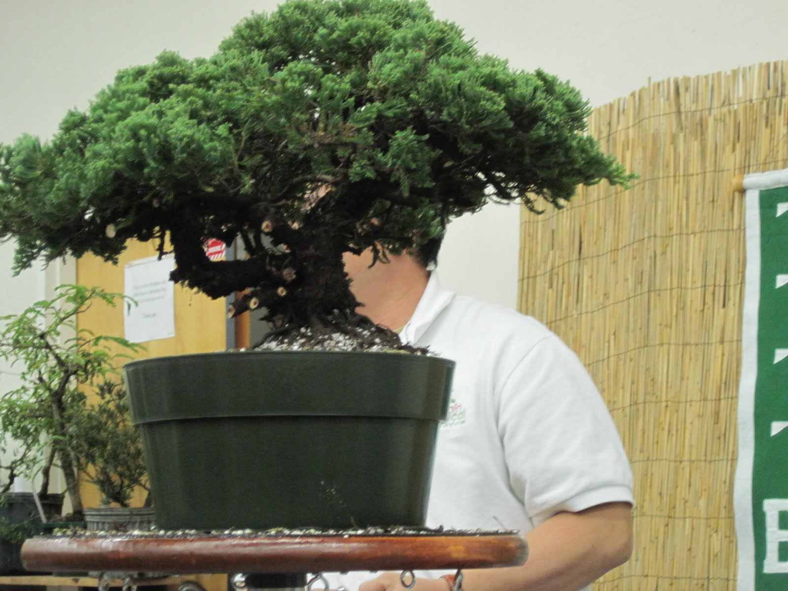 Bonsai Beginnings Green Mound Juniper