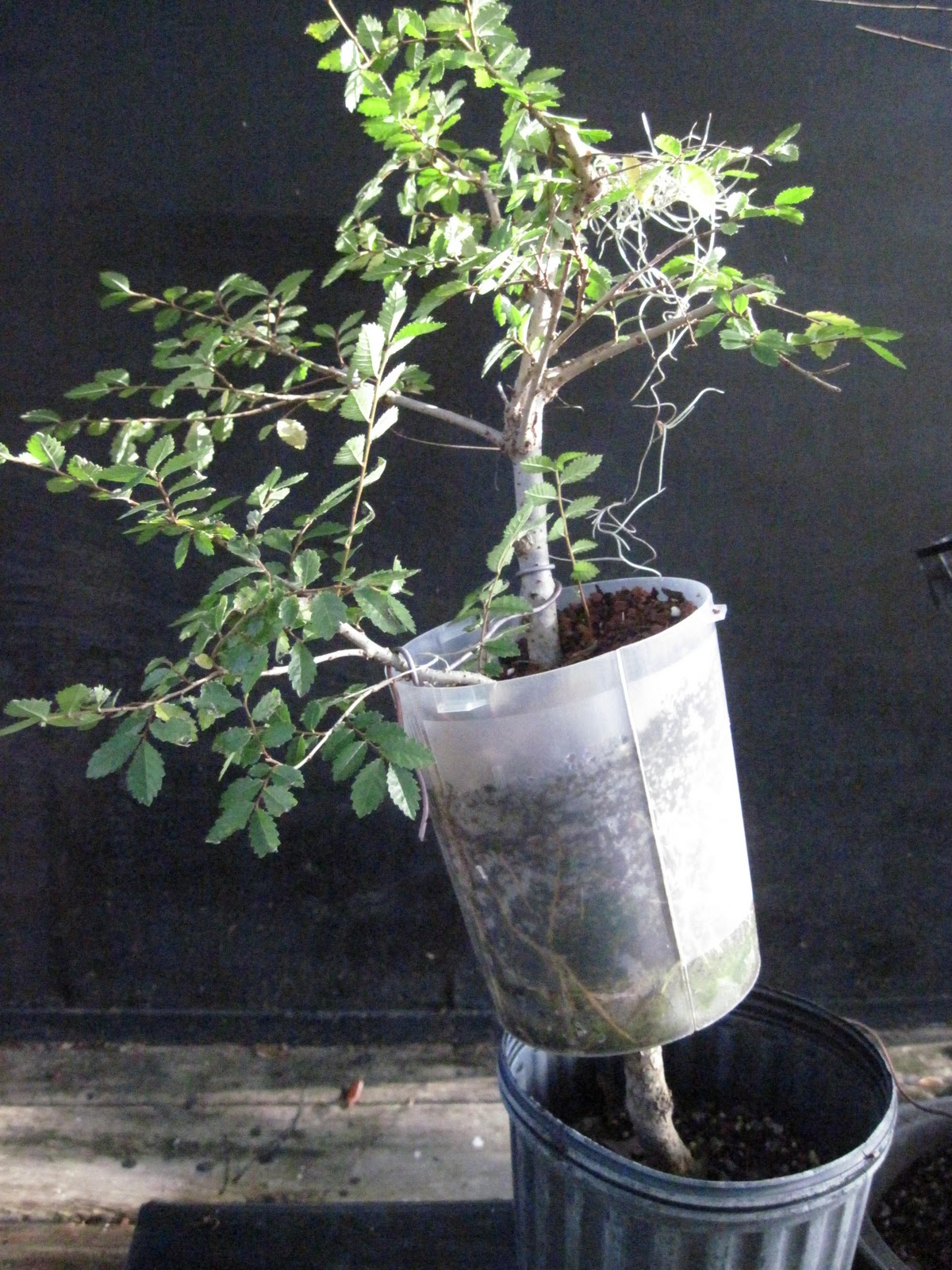 Bonsai Beginnings August 2010