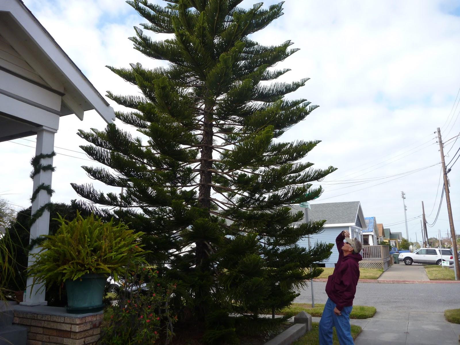Galveston Gardening: Norfolk Island Pine - Know the Risks Before You ...