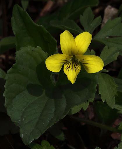 Downey yellow violet (Viola pubescens)