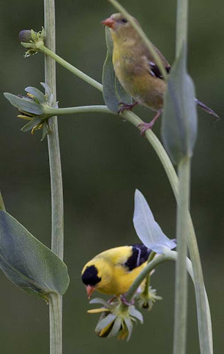 male and female American goldfinches (Carduelis tristis) on rudbeckia maxima