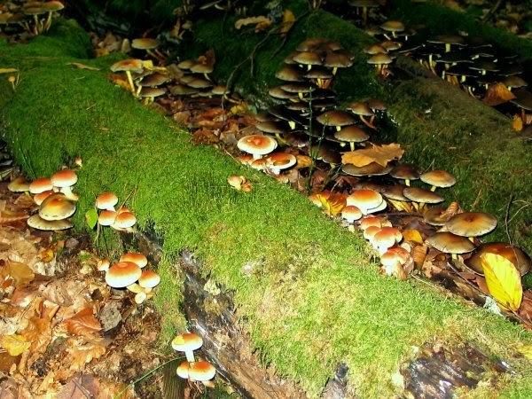 Scorpions des ardoises champignon mangeur de bois - Champignon qui mange le bois ...