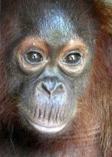 Helen the baby orangutan