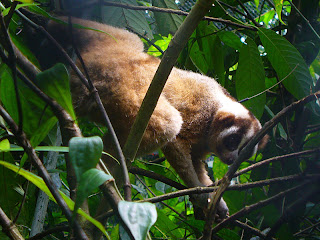 Slow loris in habituation enclosure prior to release