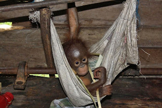 Karmila the infant orangutan