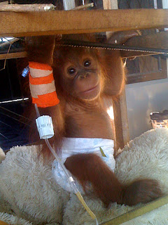 Pedro the baby orangutan