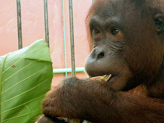 Mely, our latest rescued orangutan