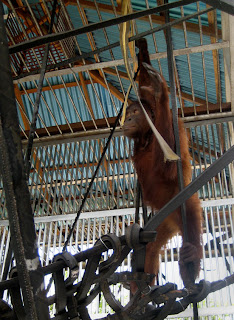 Mely the rescued orangutan