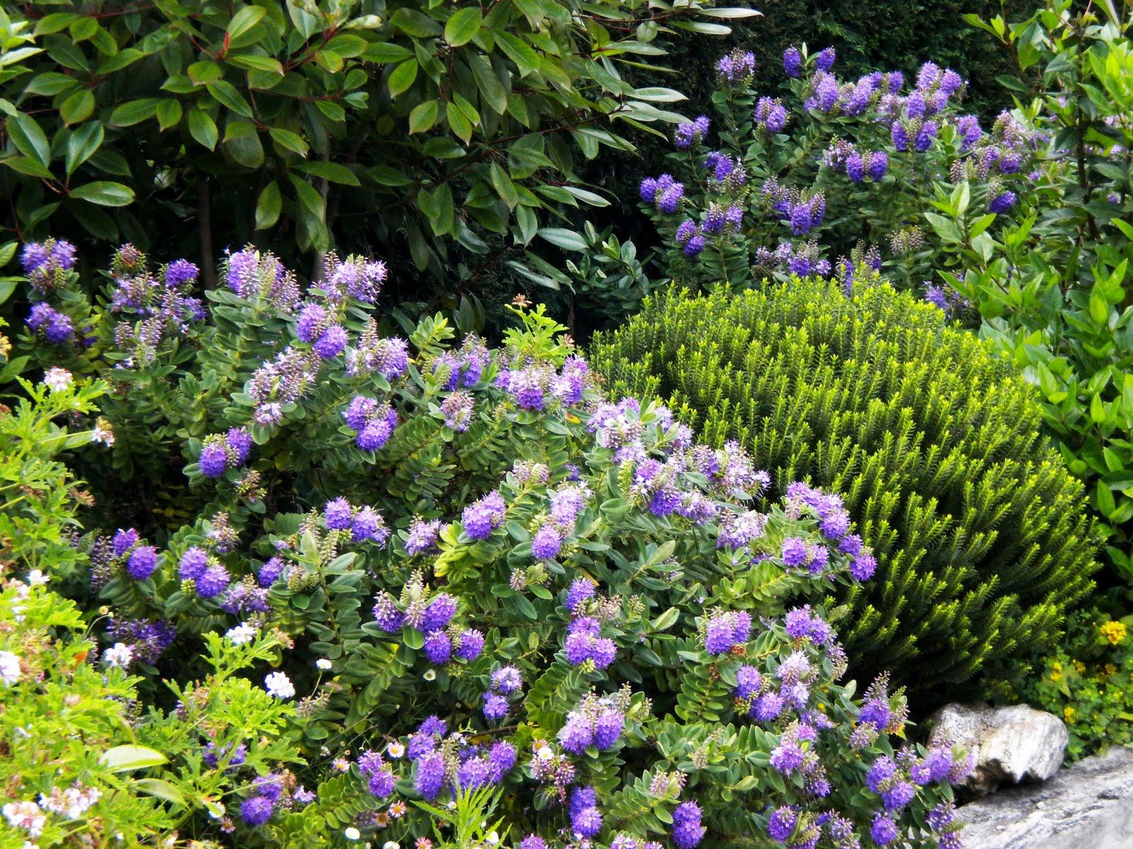 El jard n de margarita arbustos - Arbustos de jardin ...