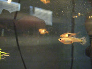 heres my guppy, Jag, she died last saturday