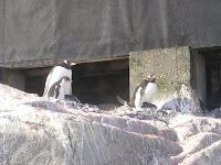 Overal Gentoo Pinguïns