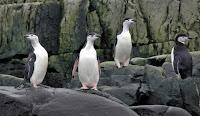 Chinstrap pinguïns