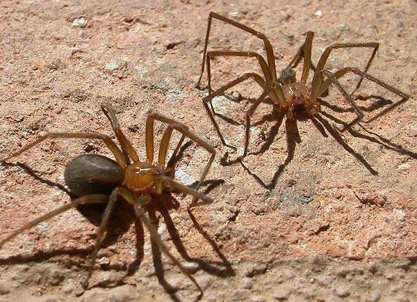 Araña de Rincón (Loxoceles Laeta) Macho y Hembra.