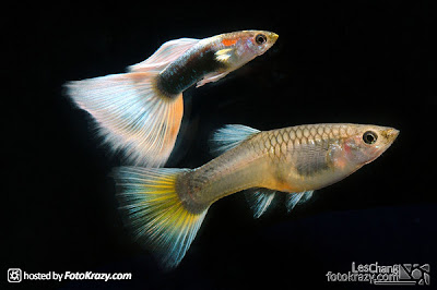 3rd Malaysia Guppy Competition 2008