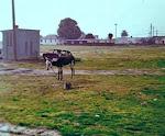 Mule 1977
