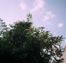 Slcâm înflorit în iulie, la Cugir