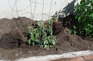 sad tomato plants surrounded by gopher holes
