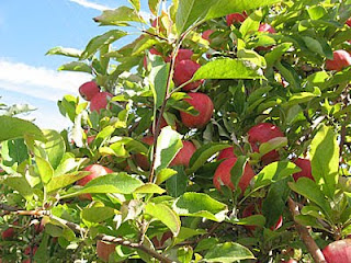 gala apples on the tree at Country Mill Orchards