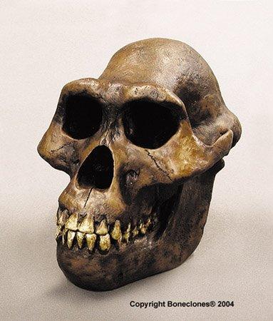 Cráneo de «Australopitecus»