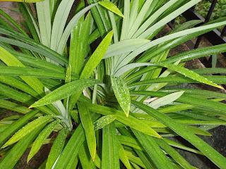 Pandan Leaf properties Daun Pandan