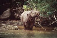 Rhinoceros Sondaicus, Badak cula 1