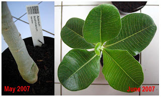Adenium Hibrida Beautiful Plant Image