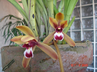 Cymbidium finlaysonianum 2 Beautiful Flowers Image
