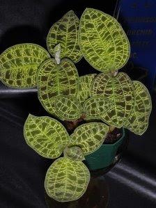 Macodes+petola+ +Jewel+Orchid+ +Anggrek+Kiaksara Flower
