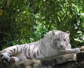 White Tiger at Mysore Zoo