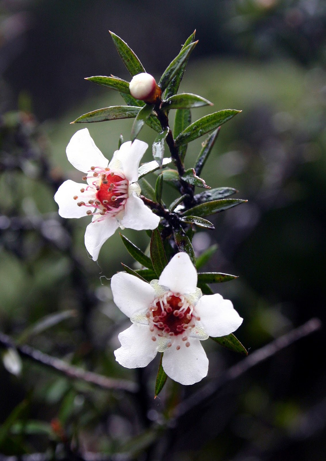 Native NZ Plants: Manuka