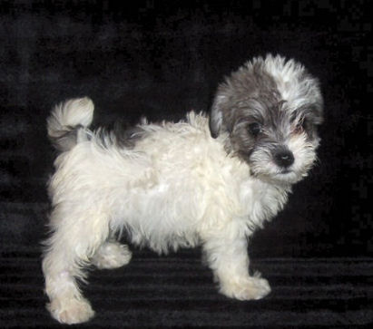 Teddy Bear Schnoodle Puppies
