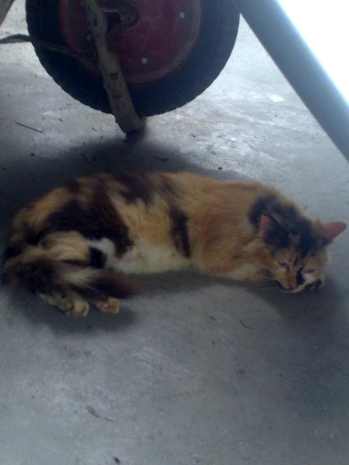 Kucing Utara Kenapa Kucing Kurus