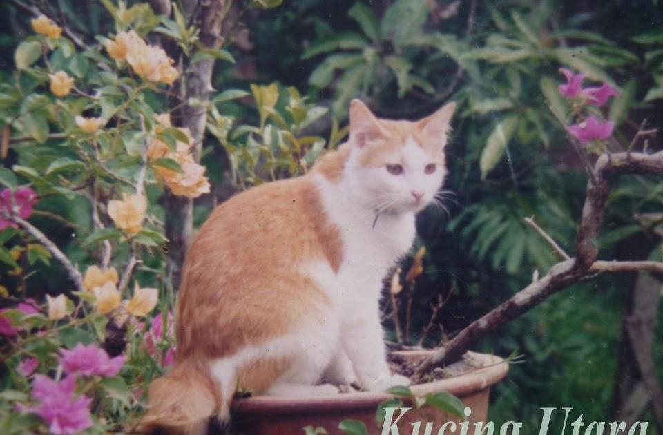Kucing Utara Kucing Parsi Campuran Kampung