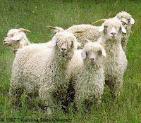 TYPE OF GOATS- ANGORA
