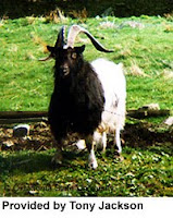TYPE OF GOATS-BAGOT