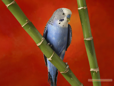 papagali frumosi albastri rosii