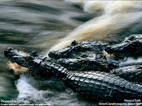 crocodili domestici gradina zoologica