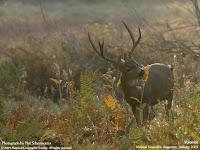 tigru caprioara antilopa