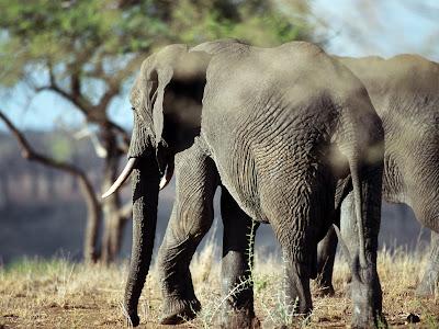Elefantii pigmei au fost redescoperiti in Borneo