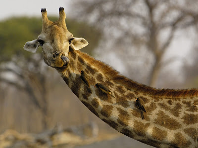 Etosha National Park Namibia giraffes drinking water
