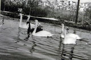 Η ιστορία των Κύκνων στη λίμνη της Καστοριάς.