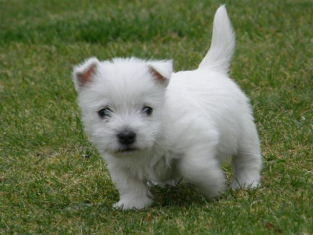 West Highland White Terrier Puppies ~ Popular Dog Breeds