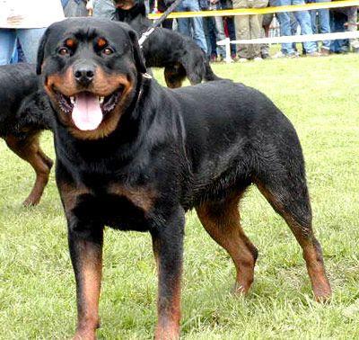 Rottweiler Popular Dog