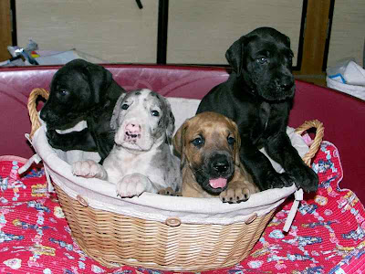Great Dane Puppies Picture