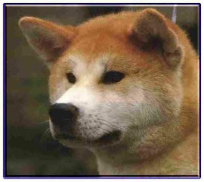 Akita Popular Dog Breeds