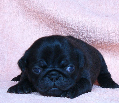 pug puppies wallpaper. Cute Images Pug Puppies