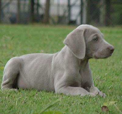 Weimaraner Popular of Dogs