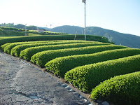 The Shizuoka, Japan tea fields where Shincha, the first Japanese green tea of the year, is made at the end of April.
