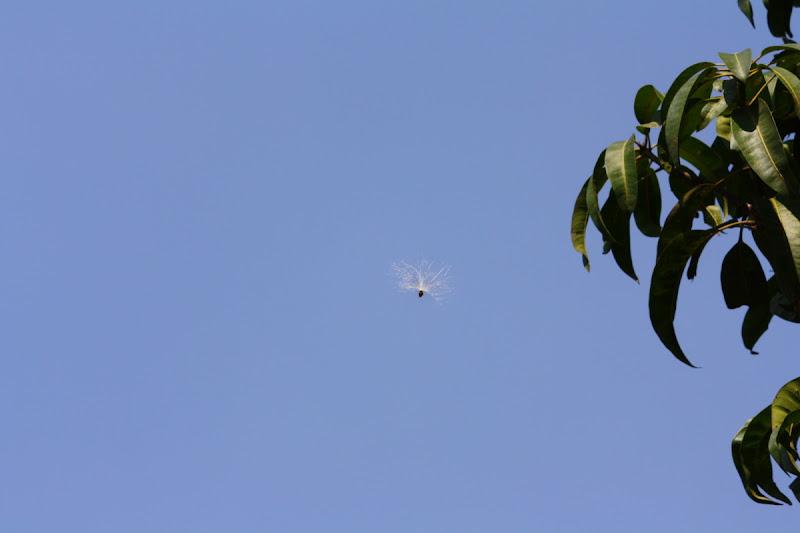 Seed of Scarlet milkweed